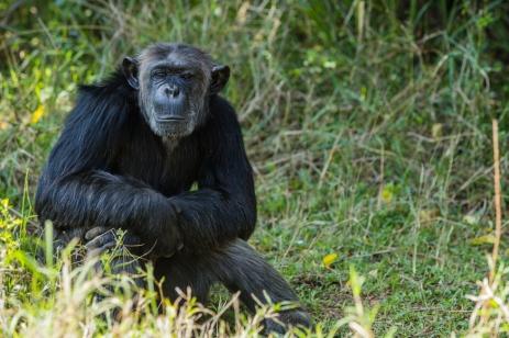 Dufatanya (Rescued Chimpanzee), Ol Pajeta, Kenya