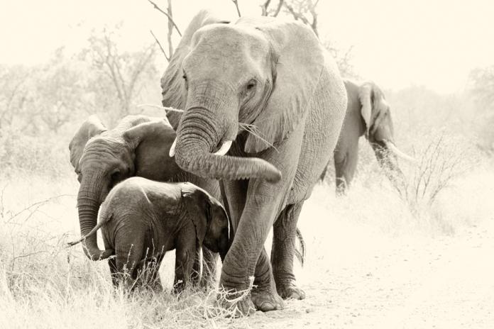 Elephant Family, Kruger National Park, South Africa