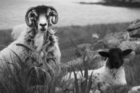 Blackface mother and lamb B&W 2